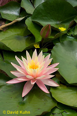 0723-1011  Full Bloom Water Lily Compared to Flower Bud - Nymphaea  © David Kuhn/Dwight Kuhn Photography
