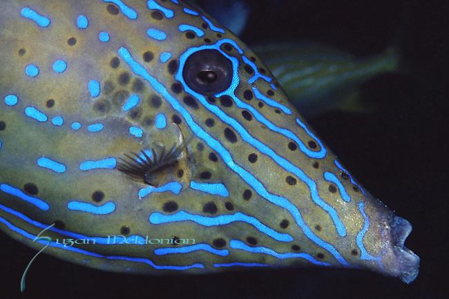 Scrawled Filefish, Aluterus scriptus, Underwater Marine life; Blue Heron Bridge; Lake Worth; FL; USA, Neon colored fish, oceans