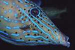 Scrawled Filefish, Aluterus scriptus, Underwater Marine life; Blue Heron Bridge; Lake Worth; FL; USA, Neon colored fish, oceans