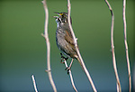 Seaside sparrow, North America