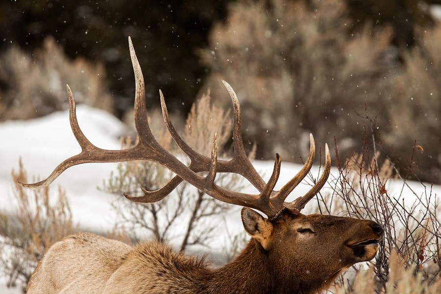 A bull elk with closed eyes appears joyful while turning his head up toward the falling snow while wearing a faint smile.