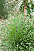 Hedgehog Agave, Agave stricta