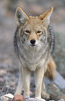Coyote; Canis latrans; CA, Death Valley N.M.