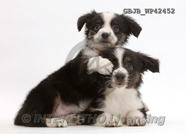 Kim, ANIMALS, REALISTISCHE TIERE, ANIMALES REALISTICOS, fondless, photos,+Two Mini American Shepherd puppies,++++,GBJBWP42452,#a#