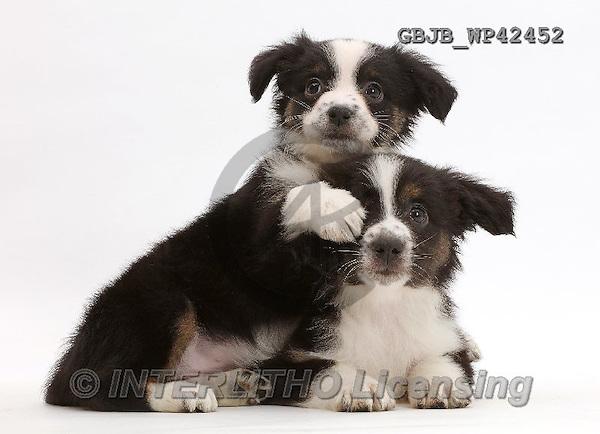 Kim, ANIMALS, REALISTISCHE TIERE, ANIMALES REALISTICOS, fondless, photos,+Two Mini American Shepherd puppies,++++,GBJBWP42452,#a#