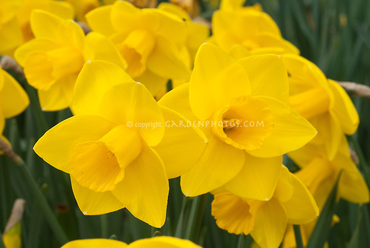 Narcissus Goldfinger daffodils Division 1 spring flowering bulbs awarded an AGM