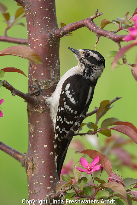 Hairy woodpecker in northern Wisconsin