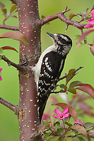 Hairy woodpecker in northern Wisconsin