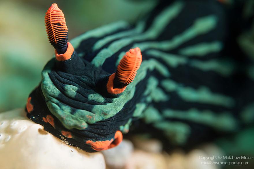 Puerto Galera, Oriental Mindoro, Philippines; a Nembrotha Kubaryana nudibranch feeding