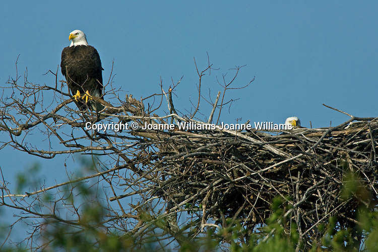Male and Female American Bald Eagles guarding nest, Central Florida, USA