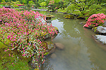 Seattle, WA: Evergreen azaleas with new blossoms on the edge of the lake's shoreline in spring in the Washington Park Arboretum's Japanese Garden