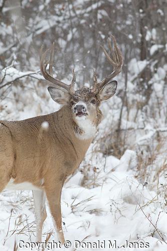White-tail Deer (Odocoileus virginianus)