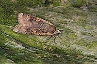 Hausmutter, Noctua pronuba, Agrotis pronuba, Eulenfalter, Eulen-Falter, Large yellow underwing, Eulenfalter, Noctuidae