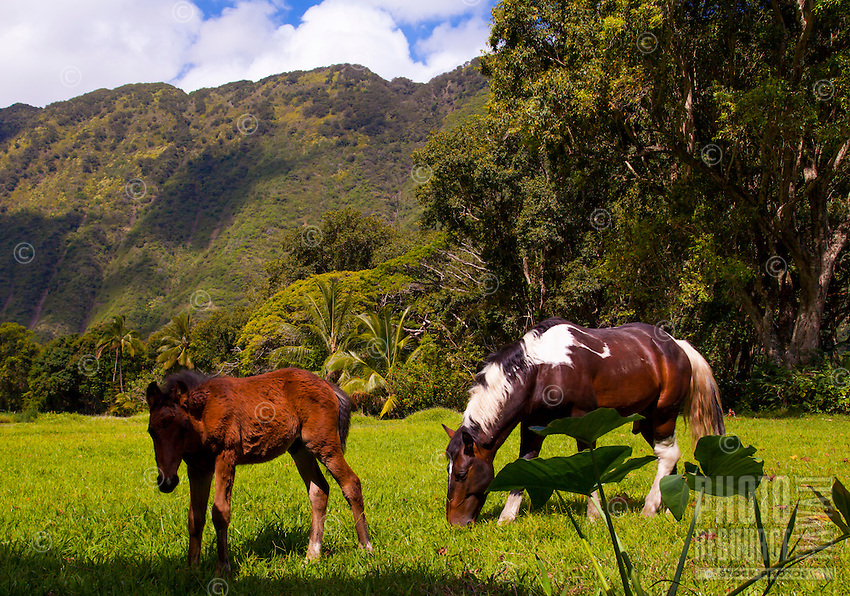 Two wild horses graze on grass between taro plants and lush trees in Waipi'o Valley, Big Island.