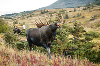 Fall landscape of Bull moose smelling for female pheremones as another bull chases him out of the territory.  Powerline valley of Glen Alps area in Chugach Mountains near Anchorage, Alaska.  Chugach State Park. <br /> <br /> Photo by Jeff Schultz/SchultzPhoto.com  (C) 2018  ALL RIGHTS RESERVED