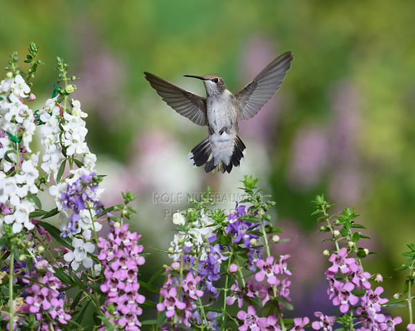 Ruby-throated Hummingbird (Archilochus colubris), male in flight feeding on Angelonia (Angelonia angustifolia) flower, Hill Country, Texas, USA