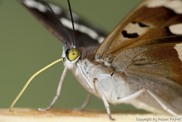 Purple Emperor Butterfly, Apatura iris, UK, with probiscus out, drinking,