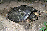 Snapping turtle, Chelydra serpentina, laying eggs
