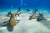 lemon sharks, Negaprion brevirostris, and scuba diver, Grand Bahama, Bahamas, Caribbean Sea, Atlantic Ocean, model released