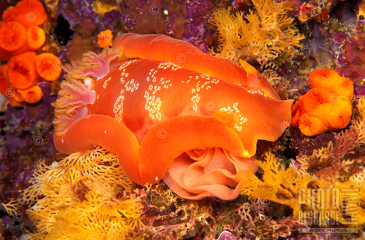 A Spanish Dancer Nudibranch ( Hexabranchus sanguineas) here pictured with its rose shaped, pink egg mass.