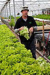 New Zealand, South Island, Marlborough, hydroponic lettuce leaf and herb agriculture production at Thymebank with co-owner Martin Birch. Photo #126430