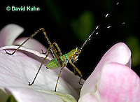 "0720-07nn  Scudder's Bush Katydid - Scudderia spp. ""Nymph"" - © David Kuhn/Dwight Kuhn Photography"