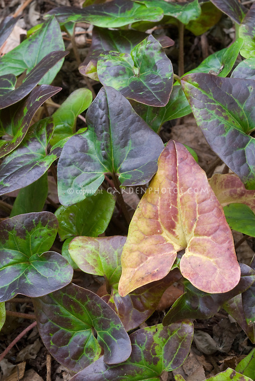 Asarum speciosum (Alabama Wild Ginger, native American plant) in autumn colors