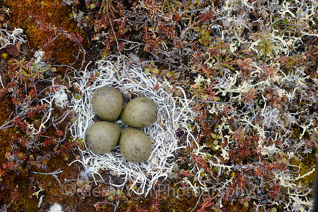 Black Turnstone ( Arenaria melanocephala) nest lined with lichens. Yukon Delta National Wildlife Refuge, Alaska. June.