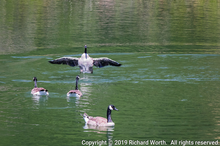 A Canada Goose spreads and stretches its wings on rippled water at Lake Chabot Regional Park, Castro Valley, California.