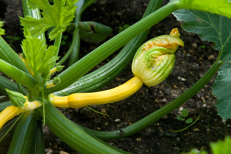 Courgette 'Soleil', mid June. Yellow courgettes about 5 weeks after seedlings were planted out.