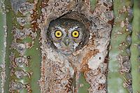 Elf Owl - Micrathene whitneyi - Adult