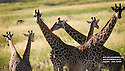 LAKE NATRON ECO-CAMP...GIRAFFES GRAZING ON NEARBY PLAINS.....FILENAME:CK-NATRON31....CLARE KENDALL..07971 477316