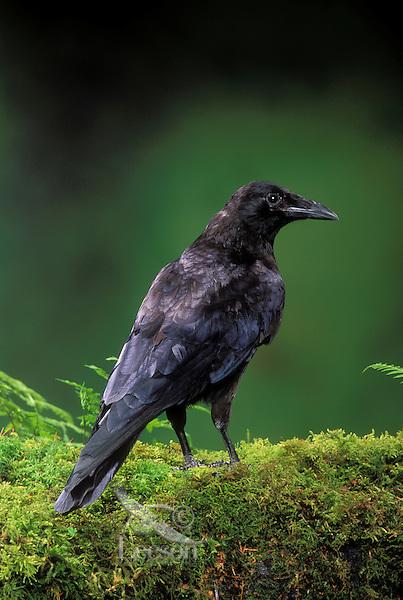 Common Crow/American Crow. Spring. British Columbia, Canada. (Corvus brachyrhynchos). Pet crow.