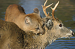 Mountain Lion, Puma, Cougar, Felis concolor, Minnesota, on deer kill, prey .USA....
