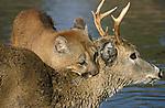 Mountain Lion, Puma, Cougar, Felis concolor, Minnesota, on deer kill, prey .USA....