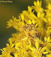 0910-06xx  Ambush bug - Phymata spp. Virginia - © David Kuhn/Dwight Kuhn Photography