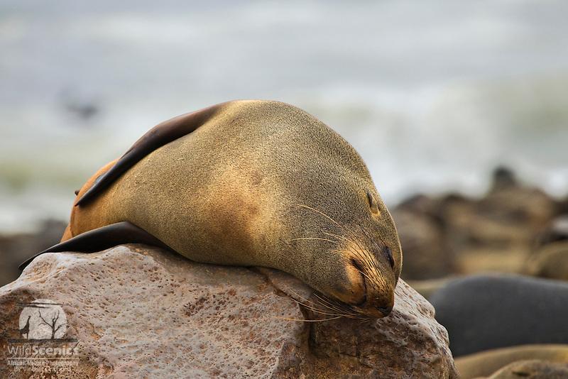 Fur Seal sleeping on a rock
