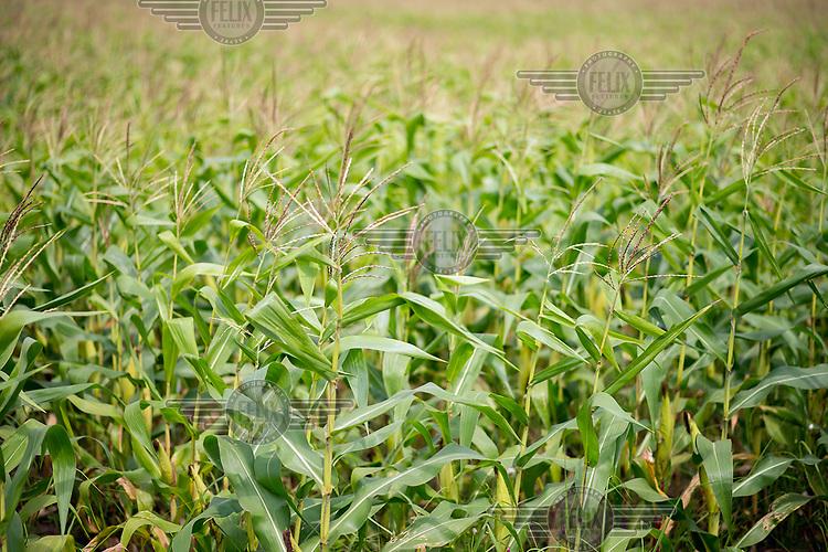 A field growing a crop of maize.