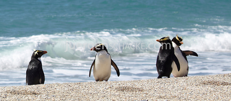 fiordland crested penguins / tawaki