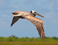 Post breeding adult brown pelican