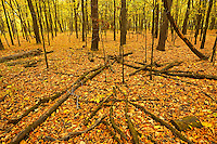Autumn leaves in Seine River Forest.<br /> Winnipeg<br /> Manitoba<br /> Canada
