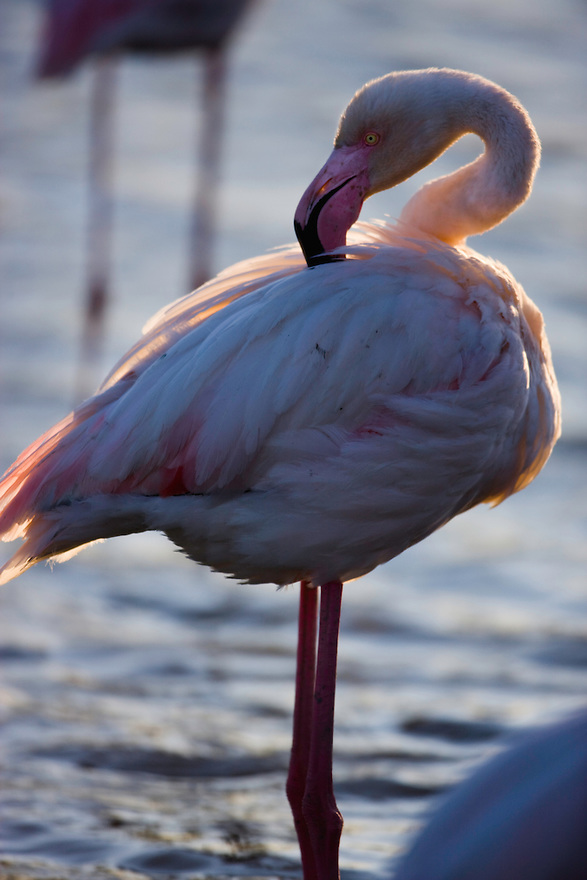 Greater Flamingo (Phoenicopterus roseus) preening, Pont Du Gau, Camargue, France