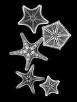 X-ray image of margined sea stars (white on black) by Jim Wehtje, specialist in x-ray art and design images.