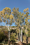 Israel, Eucalyptus trees in Wadi Betzet in the Upper Galilee