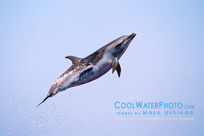 pantropical spotted dolphin jumping, Stenella attenuata, Big Island, Hawaii, Pacific Ocean