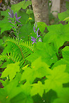A close-up, shallow focus image of NW native understory plants showing the repeating leaves of native NW blackberry, not the invasive Himalayan blackberry, and the purple blooms of starflower and soft tendrils of sword fern unfurling through the leaves.