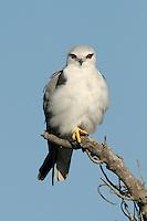 Black-shouldered Kite - Elanus caeruleus