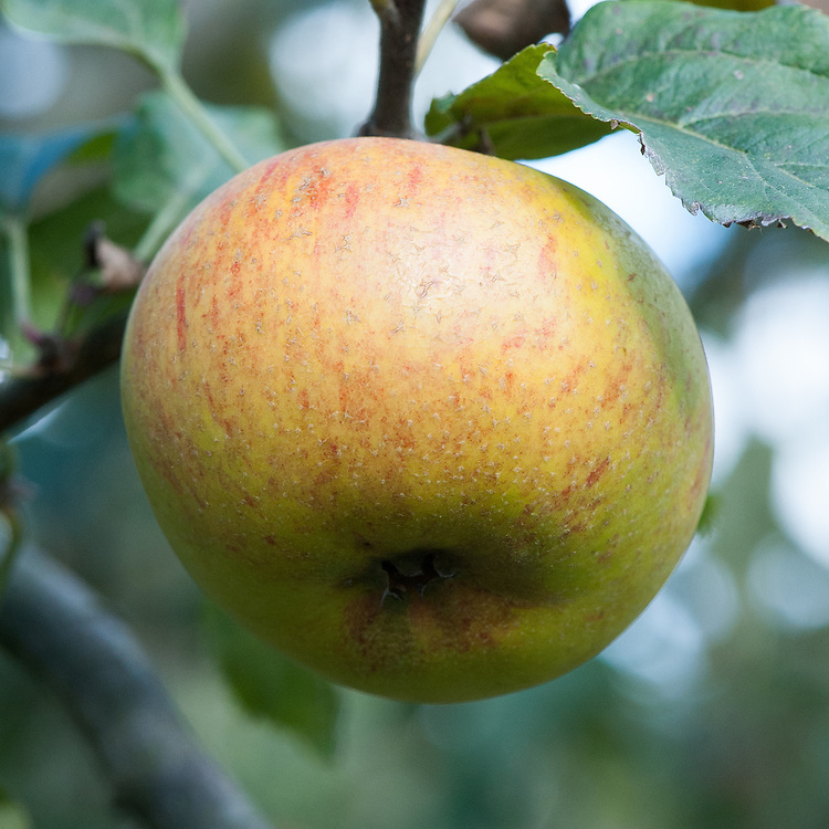 Apple 'Laxton's 'Triumph', late September. An English dessert apple bred in 1902 by Laxton Bros of Bedford as a cross between 'King of the Pippins' x 'Cox's Orange Pippin'.