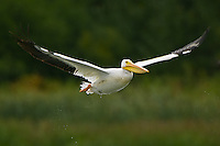American White Pelican (pelecanus erythrorhynchos) flying shortly after take-off in Elk Island National Park, Alberta, Canada