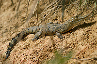 juvenile Morelet's crocodile, Belize, Caribbean, Atlantic crocodile, or Central American crocodile, Crocodylus moreletii, basking, Belize, Caribbean, Atlantic Zoo, Belize, Caribbean, Atlantic, Central America, Caribbean, Atlantic (c)